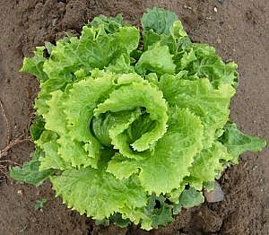 lettuce-main_Full