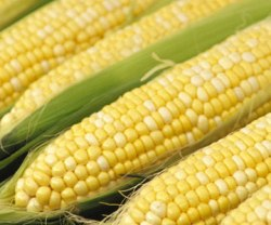 Sweet_corn_cob__02582_zoom