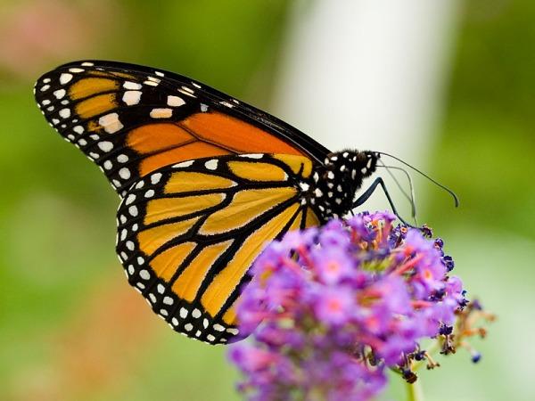 bbgmonarchbutterflywings